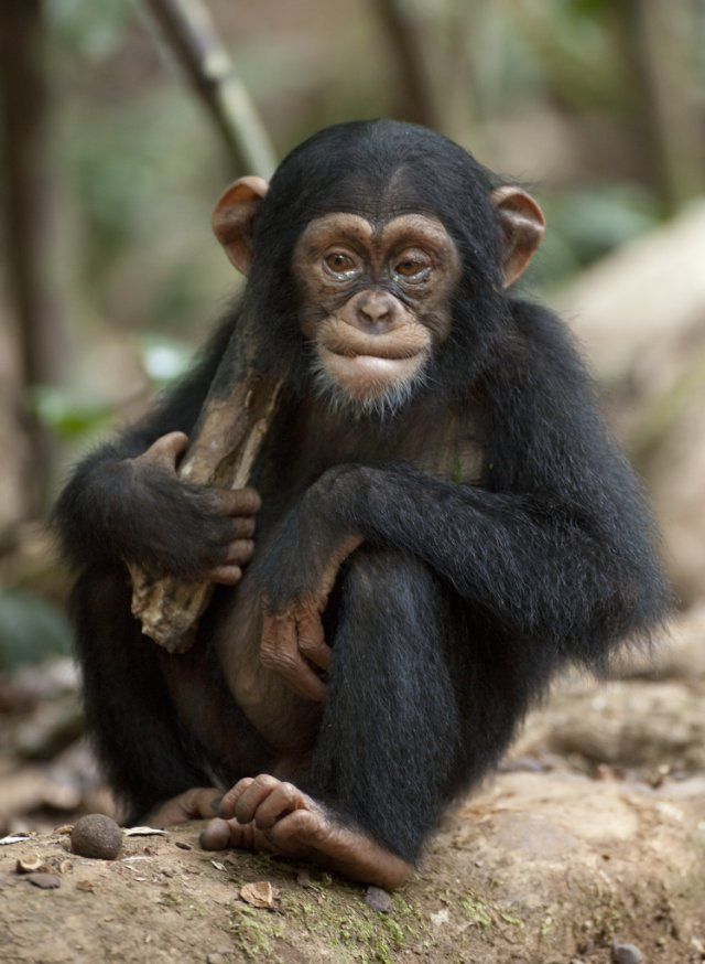 "HollywoodandFine.com A film that took more than four years and an extravagant amount of luck to make, ""Chimpanzee"" is an exceptional wildlife movie that should hold the interest of viewers […]"