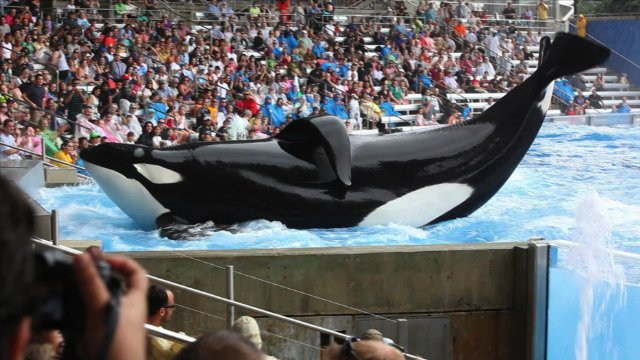 "HollywoodandFine.com It's been four years since ""The Cove"" – and 20 years since ""Free Willy."" And yet, as the upsetting new documentary, ""Blackfish,"" shows, man's inhumanity to mammals continues unabated […]"